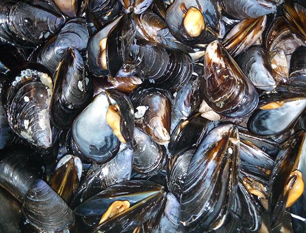 азовське море мідії